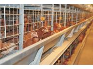 Vietnam High Quality A Type Poultry Layer Cage & Hen Cage with Automatic Chickn Manure Clean