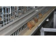 Gabon Poultry Farm Project H Frame Pullet Chicken Cage with Automatic Manure Clean MachineCage for P